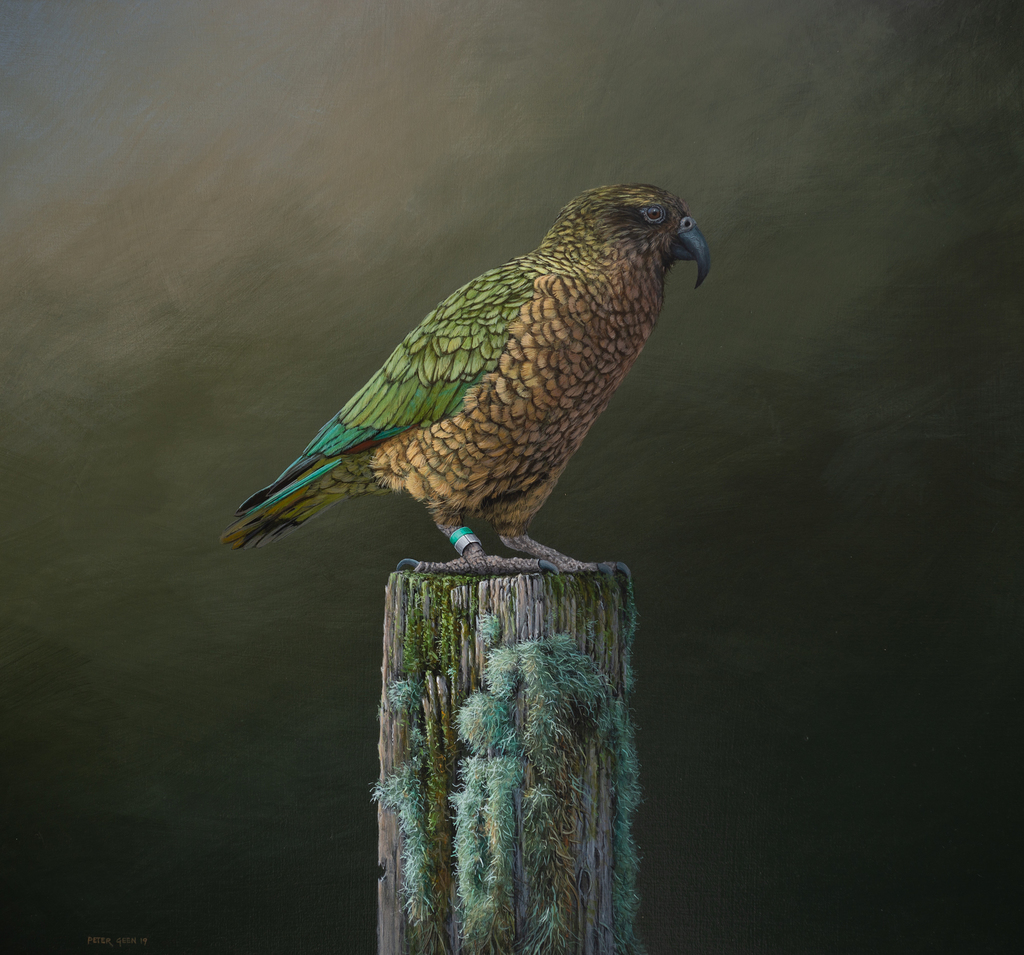 Kea - the Alpine Clown